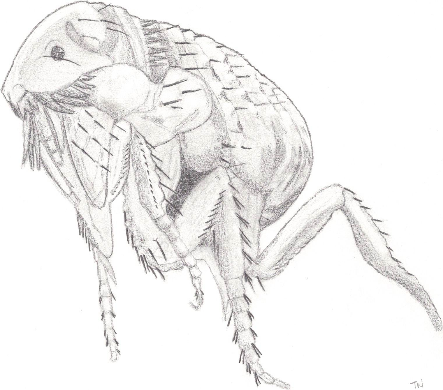 artists impression of a flea