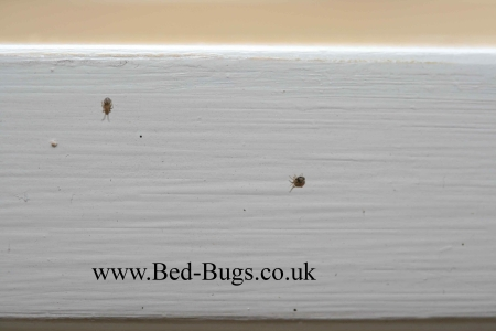 Bed Bugs Limited - Bird mites