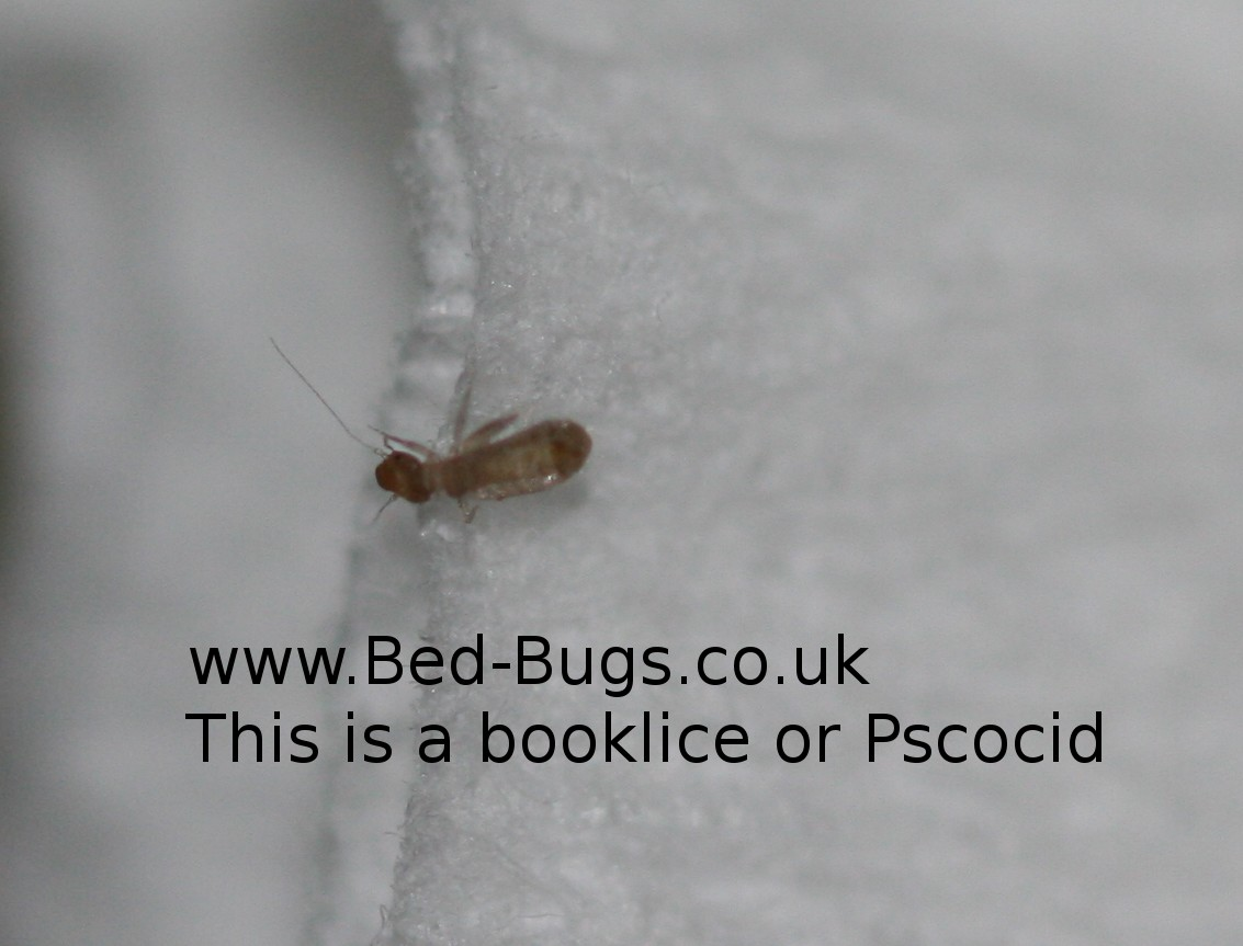 booklice or pscocids