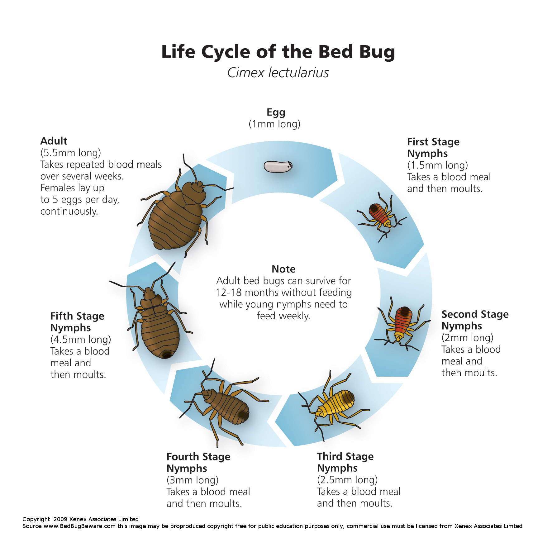 Bed Bugs Limited bedbug lifecycle diagram