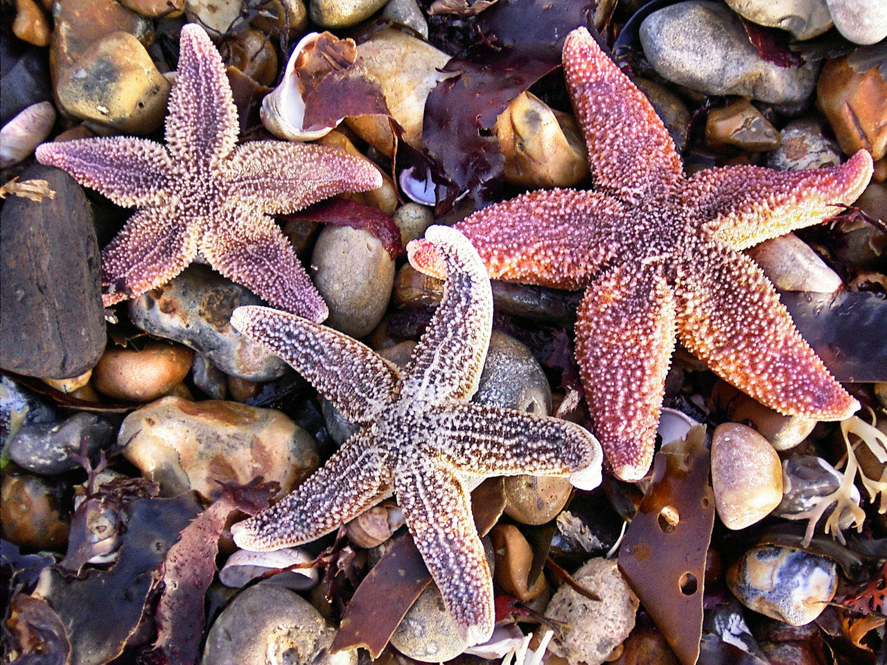 Three beautiful purple sea stars on top of smaller rocks out of the water