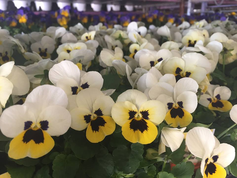 Pansies in yellow and white