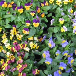 winter pansies and seasonal  basket flowers